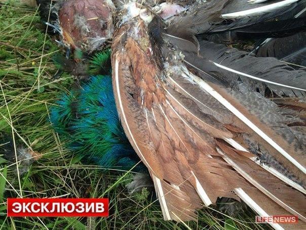Украина. Место крушения Боинга 777. Рейс MH 17. Фото. Павлины