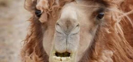 Саудиты между горбами верблюда
